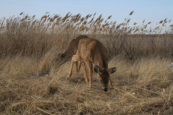 deer-long-island-ny